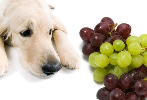 Uvas e passas podem danificar seriamente os rins do pet. (Créditos: www.hipotusa.com)