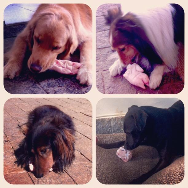 """Nossa turma canina """"escovando os dentes"""" com pés de porco crus como ossos recreativos!"""