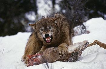 Embora sejam mais flexíveis que os felinos, lobos são carnívoros. Carnívoros oportunistas.