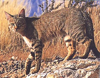 Nosso bichano vem desse felino africano, o Felis lybica. (Créditos: http://www.causafelina.blogger.com.br)
