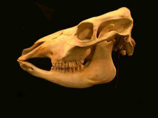 Crânio de uma vaca, dotado de molares especializados em maceração de capim. (Créditos: http://www.nhc.ed.ac.uk)