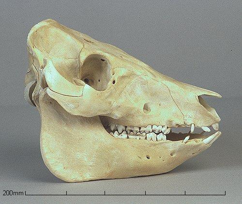 """Crânio de um porco: molares achatados e algumas """"presas"""". (Créditos: diversityofsystems.wikispaces.com)"""